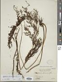 view Sphenomeris chinensis var. chinensis (L.) Maxon digital asset number 1