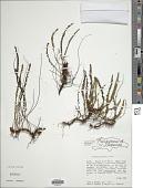 view Lindsaea pratensis Maxon digital asset number 1