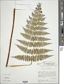 view Hypolepis steubelii Hieron. digital asset number 1