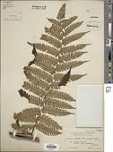 view Cyathea caudata (Hook.) Copel. digital asset number 1