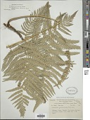 view Pteridium aquilinum var. wightianum (J. Agardh) R.M. Tryon digital asset number 1