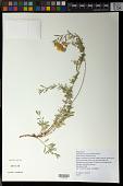 view Oenothera toumeyi (Small) Tidestr. digital asset number 1