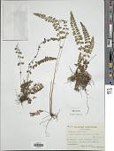 view Lindsaea orbiculata var. commixta (Tagawa) K.U. Kramer digital asset number 1