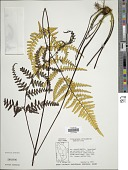 view Pityrogramma chrysophylla (Sw.) Link digital asset number 1