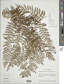 view Dennstaedtia cicutaria (Sw.) T. Moore digital asset number 1