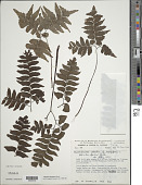 view Adiantum leprieurii Hook. digital asset number 1