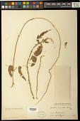 view Gonolobus macranthus Kunze digital asset number 1