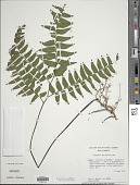 view Adiantum latifolium Lam. digital asset number 1