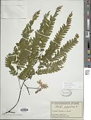 view Adiantum polyphyllum Willd. digital asset number 1