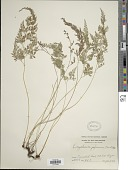 view Onychium japonicum (Thunb.) Kunze digital asset number 1