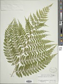view Dennstaedtia bipinnata (Cav.) Maxon digital asset number 1