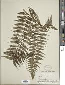 view Dennstaedtia cuneata (Hook.) T. Moore digital asset number 1