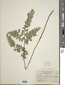 view Adiantum melanoleucum Willd. digital asset number 1
