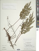 view Adiantum serratodentatum Humb. & Bonpl. ex Willd. digital asset number 1