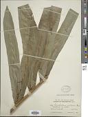 view Acrostichum danaeifolium Langsd. & Fisch. digital asset number 1