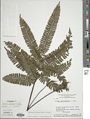 view Adiantum cajennense Willd. ex Klotzsch digital asset number 1