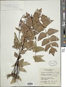 view Adiantum macrophyllum Sw. digital asset number 1