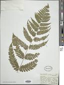 view Dennstaedtia ampla (Baker) Bedd. digital asset number 1