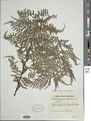 view Pityrogramma calomelanos (L.) Link digital asset number 1