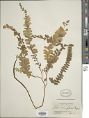 view Adiantum patens Willd. digital asset number 1