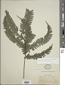 view Adiantum tetraphyllum Humb. & Bonpl. ex Willd. digital asset number 1