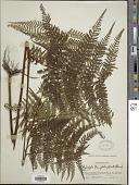 view Hypolepis tenuifolia (G. Forst.) Bernh. digital asset number 1