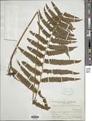 view Microlepia marginata (Houtt.) C. Chr. digital asset number 1