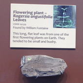 view Rogersia angustifolia Fontaine digital asset number 1