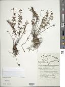 view Pellaea ternifolia (Cav.) Link digital asset number 1