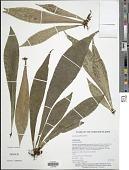view Antrophyum callifolium Blume digital asset number 1