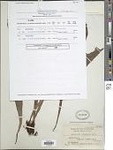 view Antrophyum reticulatum (G. Forst.) Kaulf. digital asset number 1