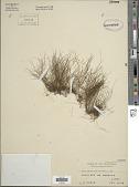 view Monogramma trichoidea (Fée) Hook. & Baker digital asset number 1