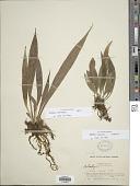 view Antrophyum semicostatum Blume digital asset number 1