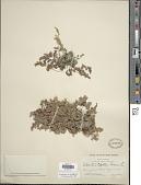view Adiantum capillus-veneris L. digital asset number 1