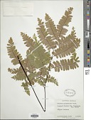 view Adiantum polyphyllum Willd. digital asset number 1