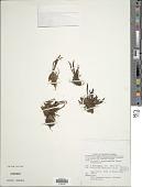 view Haplopteris taeniophylla (Copel.) E.H. Crane digital asset number 1
