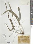 view Pteris stenophylla Wall. ex Hook. & Grev. digital asset number 1