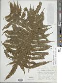 view Pteris pteridioides (Hook.) Ballard digital asset number 1