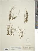view Vaginularia paradoxa (Fée) Mett. ex Miq. digital asset number 1