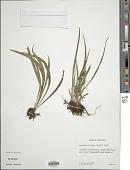 view Polytaenium lineatum (Sw.) J. Sm. digital asset number 1