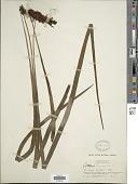view Haplopteris elongata (Sw.) Crane digital asset number 1