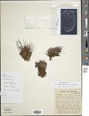 view Vaginularia angustissima (Brack.) Mett. digital asset number 1
