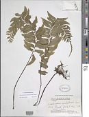 view Hymenasplenium unilaterale (Lam.) Hayata digital asset number 1