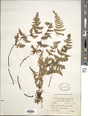 view Cheilanthes dalhousiae Hook. digital asset number 1