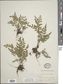 view Asplenium abscissum Willd. digital asset number 1
