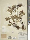 view Doryopteris concolor (Langsd. & Fisch.) Kuhn digital asset number 1