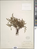 view Asplenium montanum digital asset number 1