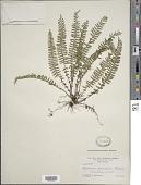 view Asplenium formosum Willd. digital asset number 1