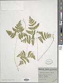 view Gymnocarpium disjunctum (Rupr.) Ching digital asset number 1