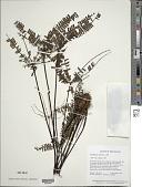 view Adiantopsis radiata (L.) Fée digital asset number 1